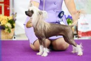 Club Dog Show Club Winner – hairless female Grand Passage Afrodita