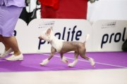 Club Dog Show Club Winner – hairless female Open Heart Heybett