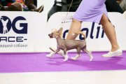 Club Dog Show Club Winner – hairless male Grand Passage Dunkan