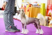 Club Dog Show Club Winner – hairless male Lorita Star Korolevskiy Naslednik