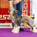 Club Dog Show Club Winner – hairless female Sakura Ot Vera Wang